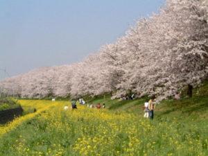 桜と菜の花の風景